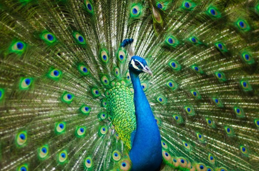 peacock-2363750_1920