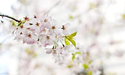 cherry-blossom-1246539_640
