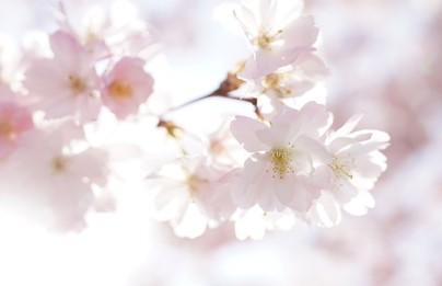 cherry-blossoms-4098778_640