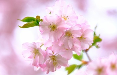 cherry-blossoms-4126813_640